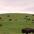 Bison Herd by Olivier Le Queinec