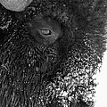 Bison In Black And White by Tony Hake