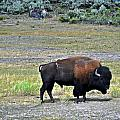 Bison In Lamar Valley by Marty Koch
