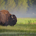 Bison In Morning Light by Sandipan Biswas