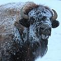 Bison In Snow by Trent Mallett