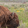 Bison In The Flowers Ingrand Teton National Park by Fred Stearns
