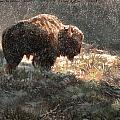 Bison In The Snow by Aaron Blaise