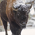 Bison In The Snow by Carolyn Fox