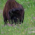 Bison by Jeff Welton