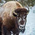 Bison by Michael Chatt