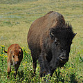 Bison Mother And Calf by Dakota Light Photography By Dakota