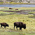 Bison Mother And Calf In Yellowstone National Park by Catherine Sherman