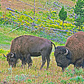 Bison Pair In Hayden Valley In Yellowstone National Park-wyoming  by Ruth Hager