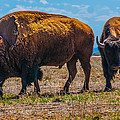 Bison Pair_1 by Tom Potter