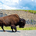 Bison Plodding Along On Alaska Highway-bc-canada by Ruth Hager