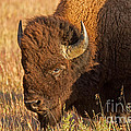 Bison Potrait At Teh Elk Ranch In Grand Teton National Park by Fred Stearns