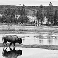 Bison Reflection by Max Waugh