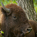 Bison Resting by Bruce Nikle