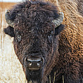 Bison by Stacy White