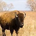 Bison Tall Grass by Vernis Maxwell