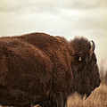 Bison Walking Into The Sunset by Melany Sarafis