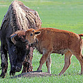 Bison With Young Calf by Bill Gabbert