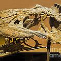 Bistahieversor Dinosaur Skull Fossil by Millard H. Sharp
