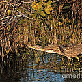 Bittern Stretched Out by Timothy Flanigan and Debbie Flanigan Nature Exposure