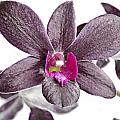 Black And Purple Orchid by Paul Fell