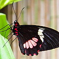 Black And Red Cattleheart Butterfly by Amy McDaniel