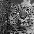 Black And White Amur Leopard by Chris Boulton