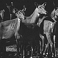 Black And White Antelopes by Pati Photography