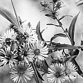 Black And White Asters by Optical Playground By MP Ray