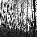 Black And White Birch Stand by Michael Merry