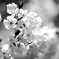 Black And White Blossoms by Scott Hill