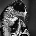 Black And White Cat In Profile  by Jennie Marie Schell