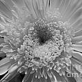Black And White Chrysanthymum by Cheryl Hurtak