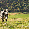 Black And White Cow by Jane Rix
