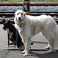 Black And White Dogs 5d25873 by Wingsdomain Art and Photography
