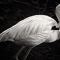 Black And White Flamingo by Adam Romanowicz