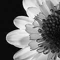 Black And White Flower by Darren Greenwood