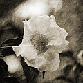Black And White Flower With Texture by Maggy Marsh