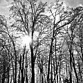 Black And White Forest by Dawdy Imagery