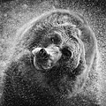 Black And White Grizzly by Steve McKinzie