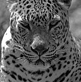 Black And White Leopard Portrait  by Jill Mitchell