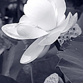 Black And White Lotus by Shawna Rowe