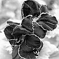 Black And White Maui Flowers by Amy Fose