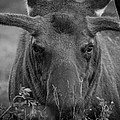 Black And White Moose Close Up by Tony Hake