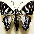Black And White Moth by Rosalie Scanlon