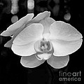 Black And White Orchid With Lights - Square by Heather Kirk