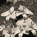 Black And White Orchids by Dawn Harris