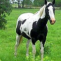 Black And White Paint Horse by Cindy New