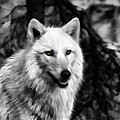 Black And White Painted Wolf by Steve McKinzie