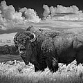 Black And White Photograph Of An American Buffalo by Randall Nyhof